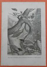 Meise Kleiber Meisen Sperber   Steindruck 1883 Ornithologie