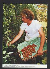 PLOUGASNOU (29) RECOLTE des TOMATES-CERISES , en 1996