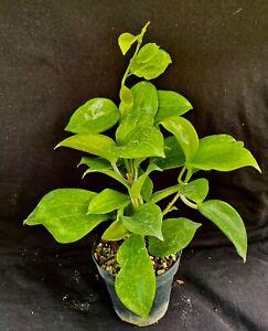 Hoya merrillii, wax plant