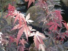 Acer palmatum Brand's Dwarf - Japanischer Fächerahorn Brand's Dwarf