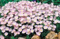 1 oz Pink Primrose Seeds, Pink Evening Primrose, Bulk Seed, approx 187,500 seeds