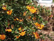 Darwin's Barberry - Berberis Darwinii - 25 seeds -  Evergreen Shrub - Berries