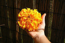 "Huge Orange Hawaii Marigold! 25 Seeds! Flowers 4"" across Comb.S/H! SEE OUR STORE"
