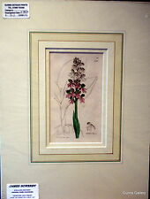 James SOWERBY BOTANICA STAMPA MONTATO Pronto all' infisso ORCHIS FUSCA c1837