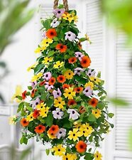 Flower Seeds Black-eyed Susan Vine Mix (Thunbergia alata) Annual Climbing
