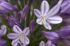 Agapanthus 'Megan's Mauve' 9cm. U.K. National Collection Holder. M