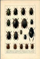 Stampa antica INSETTI COLEOTTERI COLEOPTERA 1893 Antique print insecta 6