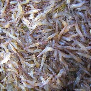 Live River Shrimps Bulk Bag (70 - 100 gram of shrimps per bag)