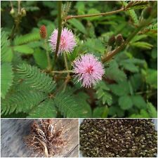 Mimosa pudica 500 Seeds, Sensitive plant, Sleeping grass, Shameplant, Amazing