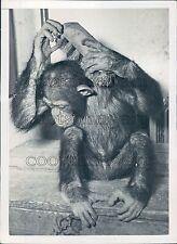 1950 Outchka The Chimpanzee of Paris Zoo Using Brush Press Photo