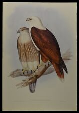 """John Gould Red-backed Sea-eagle Bird Limited Edition Print 21"""" x 14.5"""""""