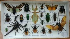 Mix rare real insect display taxidedmy scorpion beetle bug gift wall wood frame