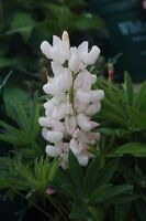 50 Seeds Lupine Popsicle White Buy Flower Seeds Lupine Seeds