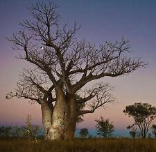 Ausdtralian Baobab or Boab (Adansonia Gregorii) - 50 Fresh Seeds Bonsai/ornament