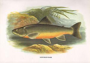 VINTAGE FACSIMILE FISH PRINT ~ LOCH KILLIN CHARR ~ A. F. LYDON