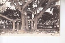 Cook Real Photo Postcard Mammoth Spreading Rubber Tree Manatee  FL Fla