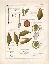 1883 VICTORIAN BOTANICAL PRINT ~ MOSS ~ CELL PLANT SPOROCARP BORNE STALK