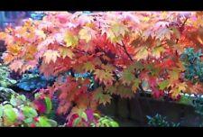 Acer Palmatum Autumn Glory
