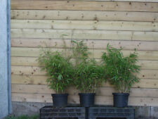 4x Bamboe/Fargesia rufa/woekert niet/pas invasif/Bambou