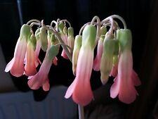 Bryophyllum 'Mother of Thousands' unusual educational live house plantlets X 10