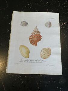 Shells - Wolfgang Knorr, Nuremberg, ca: 1764, Plate # XXVIII