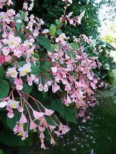 Begonia grandis ° evansiana ° 1 plant en godet