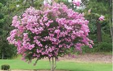 35+ LT. PINK CRAPE MYRTLE TREE /SHRUB /FLOWER SEEDS / DROUGHT TOLERANT PERENNIAL