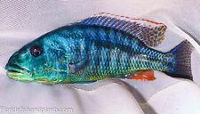 MALE Aristochromis christyi Malawi Hawk 2 inches African Cichlid Guaranteed