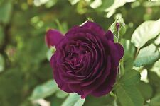 50 Purple Rare Rose Fresh Seeds, Exotic Purple Rose Flower Home Garden Plant