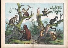 1886 Belle lithographie originale singes gibbon capucin ouistiti animaux gravure