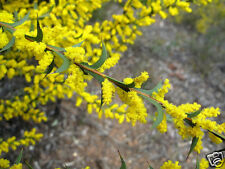 Spur Wing Wattle Seed Drought/Frost Tolerant Native Medium Shrub Unusual Leaves