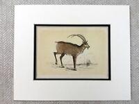 1853 Antico Stampa Alpine Ibex Steinbock Bouquetin Originale Vittoriano Art