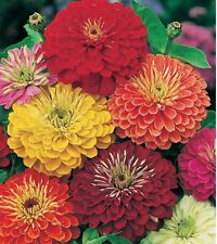 Zinnia California Giant Mix 250 seeds * Cut Flower * Beautiful * CombSH K32