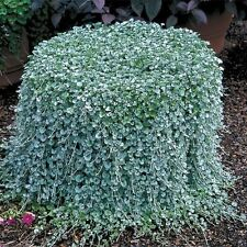 Dichondra Repens lawn seeds money grass hanging decorative garden plants