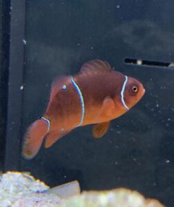 2x Maroon Clownfish (pair) Marine Saltwater Fish Bred From Lightning Maroon