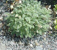 Erodium chrysanthum - 1 X ALPINE Rock Garden Copertura Del Terreno Piante in Vasi 9cm