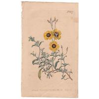 Curtis Botanical Magazine antique 1803 hand-colored engraving, Pl 627 Cistus