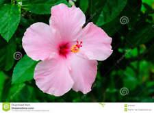 Hibiscus Seeds