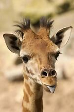 A Funny Baby Giraffe Sticking Out Her Tongue Journal : 150 Page Lined...