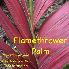 ~FLAMETHROWER PALM~ Chambeyronia macrocarpa Red Leaf Palm 10 Rare Seeds