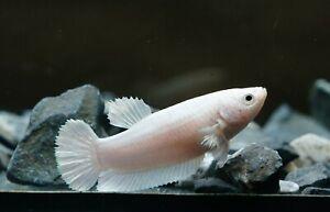 Live Betta Fish Super White Classic For Bleeding Female Full Of Eggs