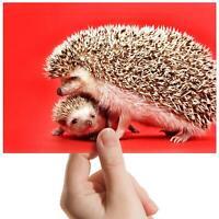 "Mother Baby Hedgehog Wildlife Small Photograph 6""x4"" Art Print Photo Gift #15579"