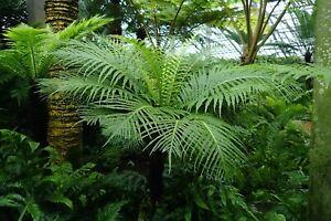 Blechnum gibbum 'Silver Lady' plug plant tree fern