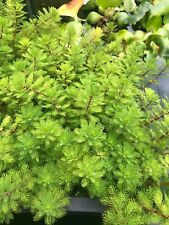 New listing Red Stem Parrot's Feather Live Bunch for Pond and Aquarium Live Plant