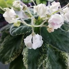 DS-Osa Zvezda (DS-Wasp Star) African Violet starter plant