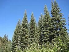 Abies magnifica SILVERTIP FIR Tree Seeds!