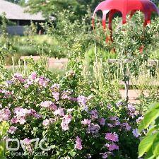 CLIMBING WILD ROSE (Rosa Setigera) 30+EXTRA seeds (#728)