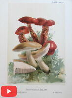 Mushrooms old print lot x 8 color lithographed champignons interesting types