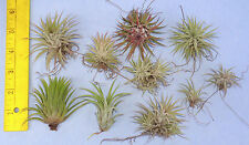 pack of 10 plus assorted ionantha tillandsia airplant. air plant