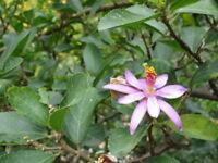** Sternblüten-Lavendel ein blühender Strauch mit essbaren Früchten